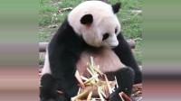熊猫吃竹笋声音清脆,肉嘟嘟的大脸,快赶上北川了