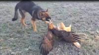 老鹰和猫头鹰打架,双方缠斗在一起,狗狗都看不下去了