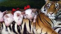 母老虎失去孩子伤心绝食,饲养员找来一窝猪崽,没过多久就后悔了