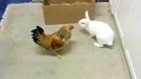 母鸡不断上前挑衅小兔子,以为好欺负,气的兔子上去揍它!