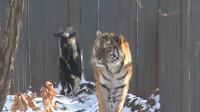 羊界的扛把子,自从认了老虎做大哥,从此走路都横着走!