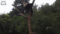 熊猫发起疯来真是自己都怕,黑旋风国宝