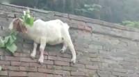 大家快来看,墙上居然长了一只羊,简直太神奇了吧