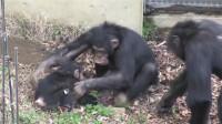 小猩猩被电,姐姐立马冲去抱起,独生子就是不一样