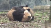 两只熊猫滚滚浑身上下脏到不行,你们这是在泥浴吗?