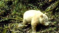全球首例!四川卧龙国家级自然保护区拍摄到白色大熊猫
