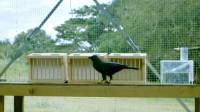 同样都是乌鸦,性格怎么大不相同,摄影师记录下全过程!