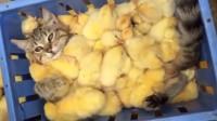 顽皮小猫跳进鸡筐,瞬间被鸡群埋没的动弹不得,可怜弱小又无助