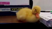 瞌睡的小鸭子低头犯困,却撞到了旁边的本子,下一秒请憋住别笑