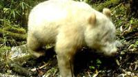 北极熊既视感!四川卧龙现全球首例纯白大熊猫