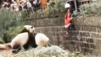 女孩不慎掉入熊猫园,万分惊险时,3只大熊猫的举动笑翻众人!