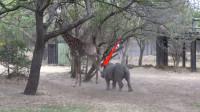"""犀牛作死招惹长颈鹿,下一秒""""啪""""的一声,大家伙可要憋住别笑!"""