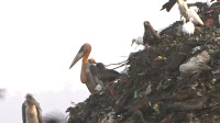 印度最大垃圾场,生活着比人还高的鸟,贫民宁愿吃垃圾也不敢吃它们!