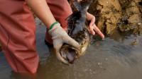 小章退潮去赶海,一路大抓螃蟹,徒手抓获大石斑。这抓的真过瘾!