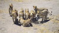 摄影上法宝,母狮围着新型摄影器材,场面真是太搞笑了