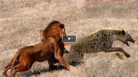 狮子趁鬣狗没有防备,直接扑咬上去,最后的结局竟是这样?