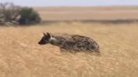 鬣狗行走在草丛中,不料狮子也在,狭路相逢,谁会胜呢?