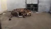 这就是你们想看的,老虎暴打雄狮!这阵仗太吓人了