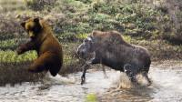 棕熊盯上幼崽,驼鹿妈妈直接朝着棕熊冲过去,结果会怎样呢?