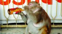 6斤重怀孕母猴,被主人喂了一瓶18度啤酒,下一秒憋住别笑