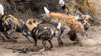 掏肛技术更娴熟的野狗,遇到落单的鬣狗,以其人之道还治其人之身