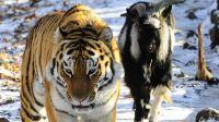 和山羊帖木儿交朋友那只东北虎 阿穆尔 野化了 捕杀了头野猪