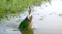 这样钓鱼才刺激,鱼饵放在水面上,鱼迫不及待跳出水面咬钩!