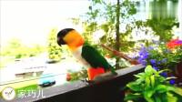 鸟友家的凯克鹦鹉, 鸟中的二哈, 出笼后又喊又叫够逗比