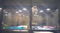 宠物店内抓拍,小猫咪翻墙去找隔壁小狗玩