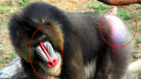 世界上最凶残的猴子,有一句话说得好,宁遇豹狼不遇山魈!