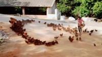 我正在喂鸡给大家画个爱心