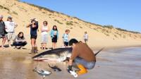 男子帮助死亡的鲨鱼,接生出三个小鲨鱼,场面真的好暖心