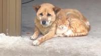 猫咪找了狗做靠山,但表情比狗还凶,这条街谁敢欺负它?