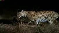 母狮幼崽遭猎豹偷袭重伤,鬣狗乘机叼走幼崽惨遭屠杀