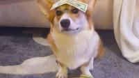 狗狗从小就拜金,经常偷主人钱包,拿主人的钱还要凶主人!