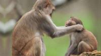 小猴天生顽皮,逼得母猴动用武力,教育孩子真是个苦力活