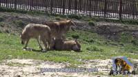 狼是冷血动物?狼王自愿把食物留给媳妇,为啥养狼人却说它残忍?