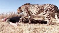 饲养员在豹子面前装死,接下来的画面让人意外,镜头拍下全过程!