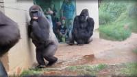 这群大猩猩要火,避雨的姿势都跟人类一模一样,还不忘了收菜