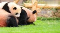 熊猫:大熊猫宝宝彩浜,非要爬妈妈这座国宝山,实在是太调皮了