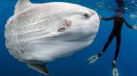 最蠢的鱼翻车鱼,种种死法蠢得让人想哭,却这辈子都不可能灭绝