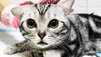 """公猫绝育扎针失败,因为皮太厚?猫咪脆皮被迫改名""""铁皮""""!手术后,""""铁皮""""颜值竟到达巅峰!"""