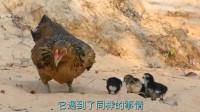 老鹰捕食小鸭子,不料被鸭妈妈按在地上摩擦,真是太倒霉了