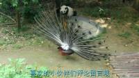 孔雀开屏向大熊猫炫耀,熊猫愤怒追着孔雀,熊猫:站住别跑,看我这熊脾气