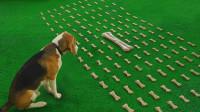 100个小骨头和1根巨型骨头,狗会怎么选?这数学学得比我还好!