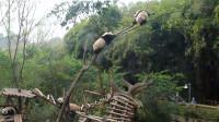 """2只熊猫宝宝刚爬上树,""""啪""""一声树断了,镜头拍下全过程"""