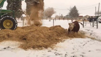 牛儿正在吃草,主人开始了恶作剧,老实的牛儿瞬间不淡定了