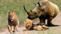 狮子夫妇正在午睡,觉得身后不对劲,下一秒拔腿就跑