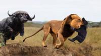 狮子袭击野牛群,成功捕获小野牛,接下来野牛妈妈的反应令人不解