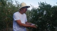 石榴怎么种才高产,农村小伙教你套袋技术
